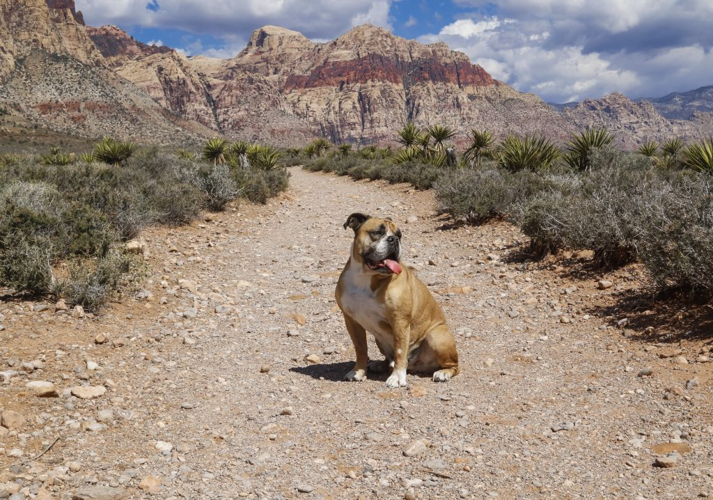 Bulldog posing in front of the mountains in Red Rock Canyon in Las Vegas