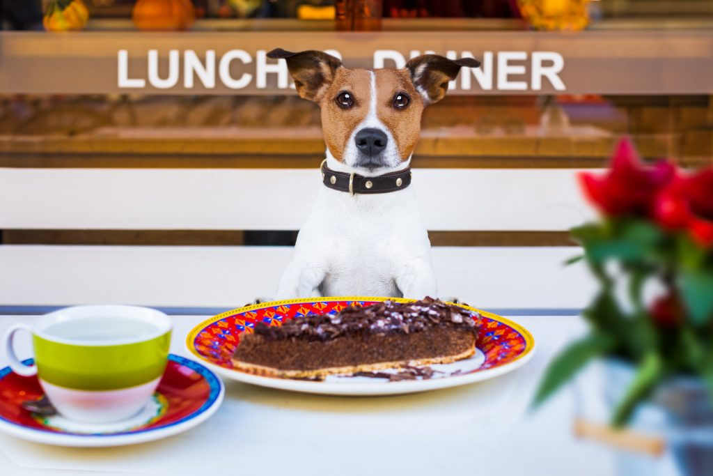 Jack russell terrier dog sitting at a picnic bench with a piece of pie in front of him