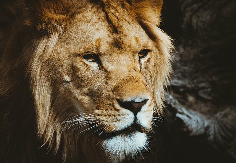 Lion in Desert Lion Habitat