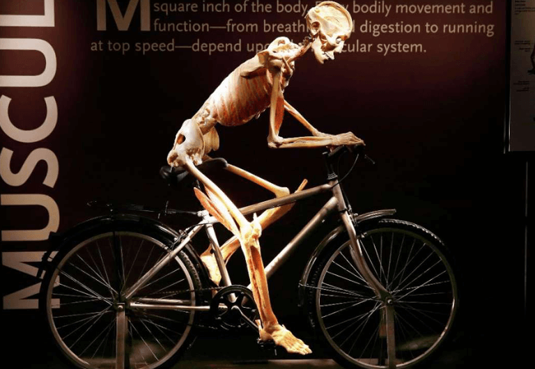 Human cadaver riding a bicycle at Bodies: The Exhibition.