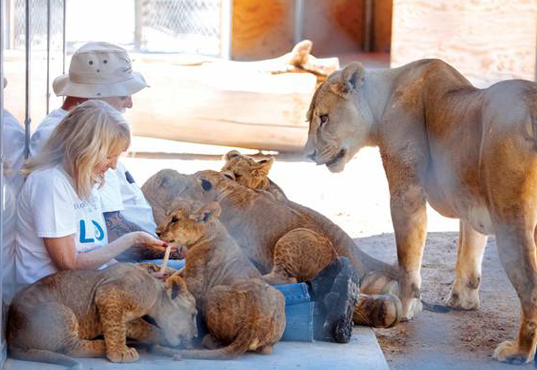 Man and woman sitting down with baby lion cubs and their mother.